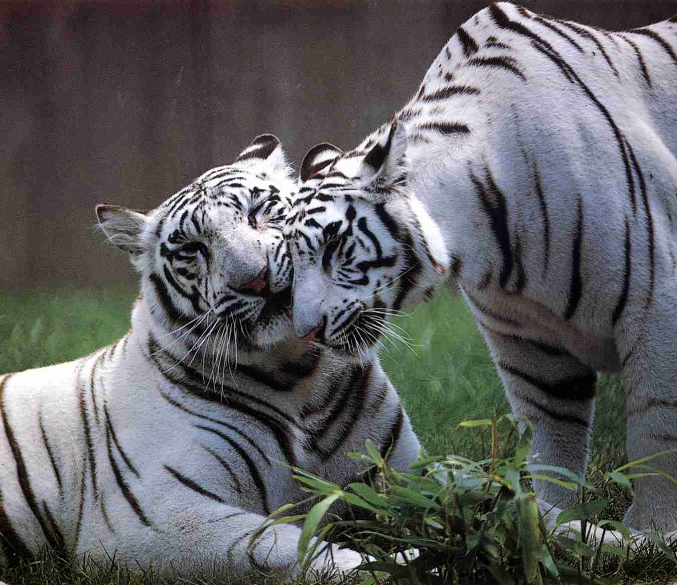 All About White Tigers - Detailed History of the White Tiger