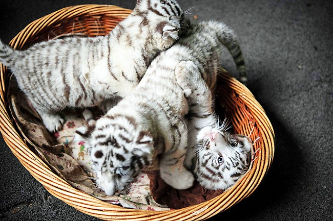 c5935c46f5d All About White Tigers - White Tiger News
